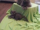 Фото в Кошки и котята Продажа кошек и котят Продаю британских котят, остались три мальчика, в Туле 3000