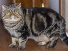 Просмотреть фото Вязка Экзотический кот для вязки в Туле 38648794 в Туле