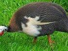 Увидеть фото Птички и клетки Продаю Цесарок , Возраст 12 66371499 в Туле