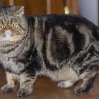 Экзотический кот для вязки в Туле