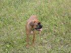 Фотография в   продам собаку немецкий боксер девочка 8 месяцев в Твери 5000