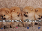 Изображение в Собаки и щенки Продажа собак, щенков В питомнике Виссон можно купить породного в Твери 0