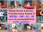 Фотография в Собаки и щенки Продажа собак, щенков Продаются щеночки хаски! В наличии белый в Твери 0