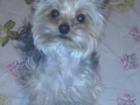 Просмотреть фото Вязка собак ищем невесту для йоркширского терьера 66518943 в Твери