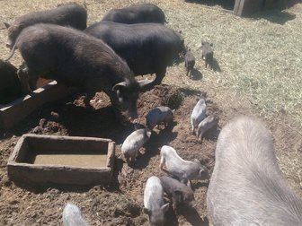 Смотреть изображение Другие животные Продаю вьетнамских поросят, 33041713 в Твери