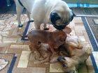 Скачать бесплатно фотографию Собаки и щенки малышка 32331155 в Уфе