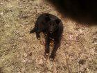Фото в Потерянные и Найденные Потерянные Потерялась Собака Черная 10 месяц ушки торчат в Уфе 5
