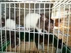 Увидеть изображение Грызуны Декоративные крысы 36801639 в Уфе