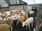 Фото в Домашние животные Другие животные Реализуем бычков симментальской породы.  в Уфе 130
