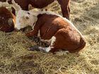 Свежее foto Другие животные Бычки герефорды до 150 кг 37644900 в Уфе