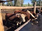Увидеть foto Другие животные Бычки мясных пород на откорм 68242057 в Уфе