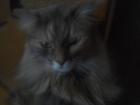 Скачать foto Отдам даром - приму в дар Отдам кота в добрые руки,кот красивый,крупный,ласковый, Кастрирован, Есть еще кот черный и кошка, Все кастрированы-стерилизованы 68702827 в Уфе