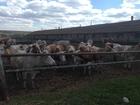 Новое изображение Другие животные Коровы симментальской породы 69488033 в Магнитогорске