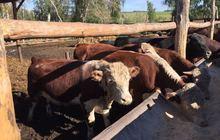 Бычки мясных пород на откорм