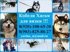 Скачать бесплатно foto Собаки и щенки Красивые черно-белые кобели хаски для вязки 45185039 в Угличе