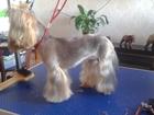 Свежее фото Стрижка собак Стрижка собак мелких пород г, Улан-Удэ 39925800 в Улан-Удэ