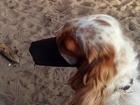 Свежее foto Вязка собак Ищем кобеля Английского кокер-спаниеля для вязки 67802726 в Улан-Удэ