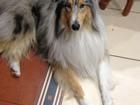 Увидеть изображение Вязка собак Кобель Колли ищет подружку 68259866 в Улан-Удэ