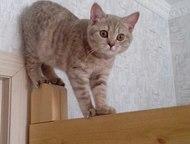 Британская короткошерстная кошечка лилово-кремовый окрас с родословной Британска