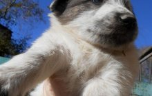 Щенки от большой собаки в добрые руки