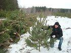 Фотография в Домашние животные Растения Хорошие ёлочки разных размеров ни желтые в Ульяновске 60
