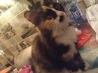 Фотография в   Отдам кошку. Стерилизованная, воспитанная в Уссурийске 0