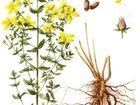 Смотреть foto  Аптечные травы, Семена для выращивания 32988817 в Усть-Илимске