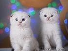 Фотография в Кошки и котята Продажа кошек и котят Двое зимних сказочных голубоглазых котиков в Великом Новгороде 0