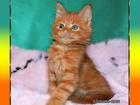 Изображение в Кошки и котята Продажа кошек и котят Питомник предлагает к продаже котят породы в Верее 40000