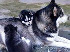 Фотки и картинки Сибирский хаски смотреть в Владикавказе