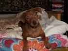 Изображение в Собаки и щенки Продажа собак, щенков Продаются породные щенки Цвергпинчера, два в Владимире 15000