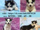 Фото в Собаки и щенки Продажа собак, щенков Продам голубоглазых щеночков хаски чёрно-белого в Владимире 0
