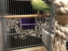 Ожереловый попугай продаю