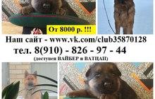 Красивые щеночки немецкой овчарки недорого