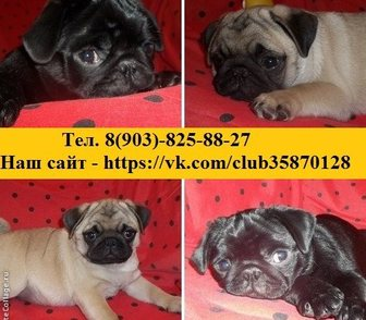 Фото в Собаки и щенки Продажа собак, щенков МОПСА чистокровных красивееееннных щеночков в Владимире 111