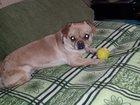 Фото в  Отдам даром - приму в дар Отдам собаку в добрые, порядочные руки. Кобель, в Владивостоке 0