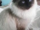 Смотреть изображение Вязка тайский длинношерстный котик вязка 35365942 в Владивостоке