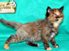Фотография в Кошки и котята Продажа кошек и котят В нашем питомнике остались две малышки! ! в Волгограде 0