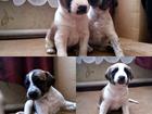 Фотография в Собаки и щенки Продажа собак, щенков ОХОТНИЧЬИ ЩЕНКИ! ! !   щенки смешанной породы в Волгограде 0