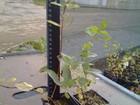 Новое фотографию Ландшафтный дизайн Саженцы растений - клонов оптом, 34383599 в Волгограде