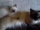 Увидеть foto Отдам даром - приму в дар породистые котятки Невские маскарадные 1,5 мес, 67778619 в Волгограде