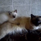 Породистые котятки Невские маскарадные 1,5 мес.