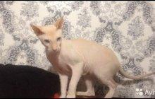 Кот питерболд