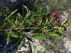 Просмотреть фотографию Разное Вишня кустовая 33363604 в Вологде