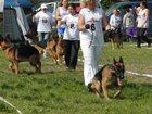 Изображение в Собаки и щенки Продажа собак, щенков FEDOR di CASA NOBILI  father Geck di Casa в Вологде 1