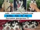 Сибирский хаски фото в Вологде