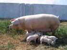 Увидеть фотографию  Оптом, поросята, борова и свинки 36633767 в Березниках