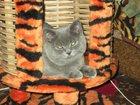 Фото в Кошки и котята Вязка Домашний кот британской породы ждёт невесту в Воронеже 600
