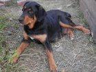 Просмотреть фото Потерянные пропала собака 34118045 в Воронеже