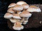 Увидеть фото  Выращивание грибов шиитаке 34465890 в Воронеже